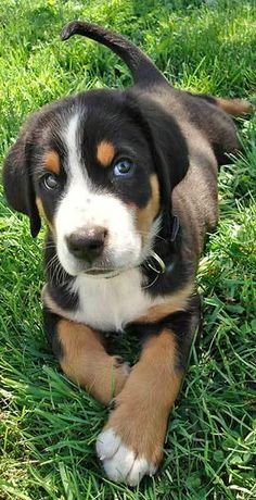 Greater Swiss Mountain Dog.  OMG.  Please let me have one!