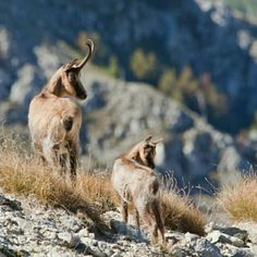 So beautiful! A cute pair of chamois on Mt Meta. Thanks Gennari Davide! Animal Magnetism, Rare Species, Holocaust Survivors, Little Italy, Scenic Photography, Oh Deer, Photo Props, Nature, Cute