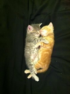 The Cuddlers The 100 Most Important Kitten Photos Of All Time Kittens And Puppies, Baby Kittens, Kittens Cutest, Cats And Kittens, Cute Cat Gif, Cute Cats, Crazy Cat Lady, Crazy Cats, Cute Cat Illustration