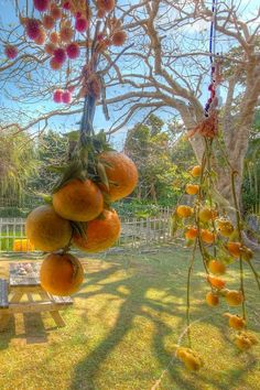oranges hanging heavy from branch