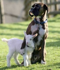 Meet Lilly the goat, she was the runt of her litter. Lilly was so tiny that she had to be bottle-fed by a caretaker or she would have starved to death. Lilly formed a connection with Billy, the caretaker's boxer dog at first sight.  The two soon became inseparable with Billy taking care of Lilly morning, noon and night. They still sleep together every night, cuddling the whole time.