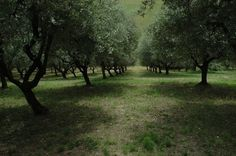 The tranquil olive grove.
