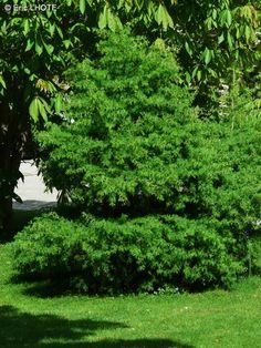 Pinaceae - Larix laricina Jacques Fabriès - Mélèze laricin
