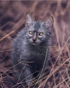 12 Facts That Are Probably News To You - The World Around Us #lykoi - See more at Catsincare.com!