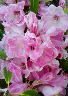 """Rhododendron """" Coronation Day"""" A huge truss, a spectacular flower!   Photo by Jan R. Fuller"""