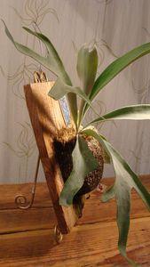 Living Plant: Lemoine Staghorn Fern