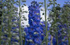 Delphinium Larkspur Flowers by paul_wallen