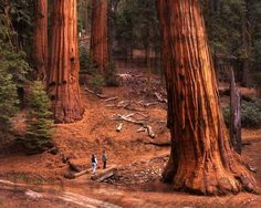 The Redwoods, California ( The Redwood Forest) Like giant legs walking through the forest
