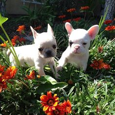 Who Says Frenchies Don't Love Flowers?