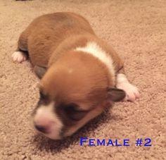 Litter Of 4 Pembroke Welsh Corgi Puppies For Sale In Bryan Tx Adn 23619 On Puppyfinder Com Gender Female Corgi Pembroke Welsh Corgi Corgi Puppies For Sale