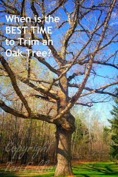 How to trim oak trees to without exposure to oak wilt?