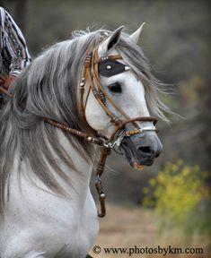 Peruvian Paso Stallion...What an absolutely beautiful animal.....