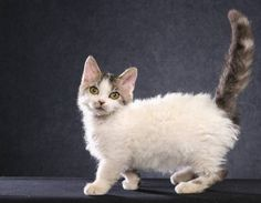 Lambkin cat... new breed combination of the mutated short legged Munchkin cat and a Selkirk Rex cat. Short legs and curly fur. Rare and not yet a recognized breed.