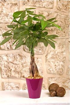 Plantas que pueden cambiar tu suerte: Planta del dinero
