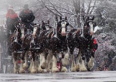 clydesdales in snow | Clydesdale Hitch Photograph by Nancy Bairnsfather - Clydesdale Hitch ...