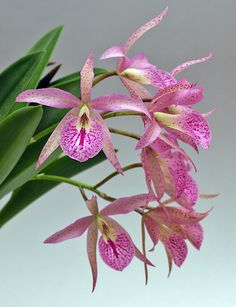 Shade Garden Flowers And Decor Ideas Brassocattleya 'Maikai' Garden Flower Beds, Orchidaceae, Plants, Orchid Flower, Beautiful Flowers, Flower Garden, Amazing Flowers, Beautiful Orchids, Flowers