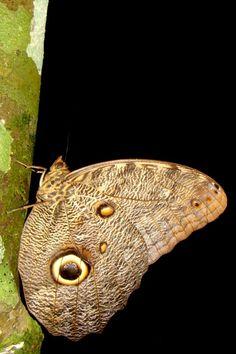 Círculos nas asas das borboletas-coruja (Caligo sp.) se parecem com os olhos de uma coruja e assustam potenciais predadores - Foto: Fábio Paschoal
