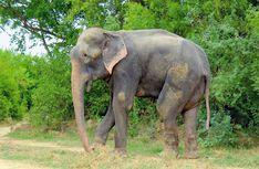 pass tourist, 50 year, eleph cri, eat plastic, elephant cries