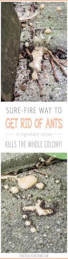 Rid ants with a Borax paste. Ants carry it back to their colony, it kills the whole nest. Mix 1 teaspoon borax or boric acid and 1 teaspoon sugar or honey with enough water to make a thin paste, and put the mix in a small jar near where the ants have been Ants In Garden, Garden Pests, Herb Garden, Borax For Ants, Borax To Kill Ants, Ant Killer Recipe, Ants In House, Get Rid Of Ants, Gardens