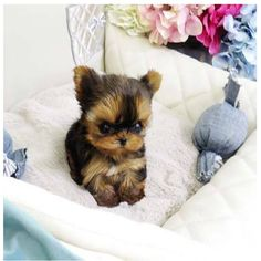 Teacup Yorkie #MicroYorkie 2.5lbs Fully Grown. For more details please call us +1 888-604-3222. Prices start at $4500USD.  #tinypuppies #TeacupYorkiesForSale #MicroYorkieforsale #teacuppuppies #MiniYorkiePuppiesForSale #GlobalDelivery #Dubai #Canada  #USA #JetSet #LuxuryLife #beENVIEd #DogsOfInstagram #InstaFamous #CelebrityPuppies http://www.poshpocketpups.com/collections/teacup-yorkie