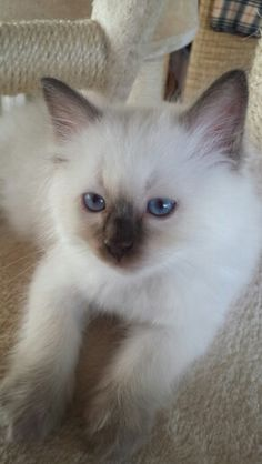 chocolate point Ragdoll Kitten Kaipo 9 weeks old