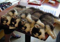 Cutest snuggle sesh - 20 Cute Husky Puppies