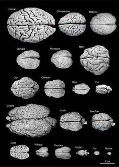 "emt-monster: "" asapscience: "" A comparative look at the brain sizes of different species. "" Brain size is interesting if you compare it to body size. The larger the body, the more brain is needed to. Brain Anatomy, Anatomy And Physiology, Human Anatomy, Brain Science, Science And Nature, Brain Size, Brain Health, Human Body, Biology"