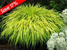 Enjoy 3 seasons of foliage color with Hakonechloa All Gold
