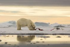 Life in the ice by Barbara Gugliotta Predator, Arctic, Habitats, Wildlife, Ice, Polar Bears, Canon Eos