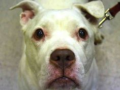 ((SUPER URGENT)) HENESSY a/k/a GENESIS a/k/a STELLA - A0961378 *** RETURNED AGAIN (4TH TIME) ON 1/27/15 - STRAY ***  FEMALE, WHITE, AMER BULLDOG MIX, 8 yrs She was found in this freezing weather, her muzzle looks raw in spots; she may not even be spayed... She is so vulnerable and very good. PLS HELP SAVE THIS SWEET GIRL!