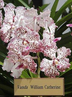 Vanda William Catherine - the free-flowering orchid hybrid is meant to represent the marriage of Prince William and Kate Middleton-honoured at Botanic Gardens ,Singapore Exotic Plants, Exotic Flowers, Beautiful Flowers, Plante Carnivore, Vanda Orchids, Types Of Orchids, English Country Gardens, Special Flowers, Prince William And Kate