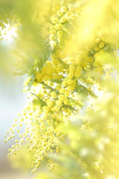 mimosa by akittyche on 500px