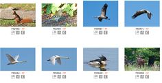 Visit my portfolio @Alamy:  #Stock #Microstock #Wildlife #Animal #Bird #Dennis #Jacobsen #Photos #Images  http://www.alamy.com/stock-photography/176B5848-FD65-401D-B9BF-C7BFDB0D611C/wildlife/7/0/0/1/Dennis%20Jacobsen.html