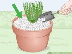 How to Plant Lavender in Pots. Lavender plants are beautiful and fragrant plants that thrive in warm dry climates. Not all climates are great for them, so sometimes they need a little extra care to grow well and produce the blossoms you. Indoor Lavender Plant, Potted Lavender, Growing Lavender, Potted Plants, Garden Plants, Plant Pots, Indoor Plants, Baie De San Francisco, Agriculture Durable