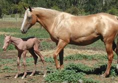 Hairless Akhal Teke foal. Sadly it passed away month old. They rarely to make it to age two, normaly they die a few days old