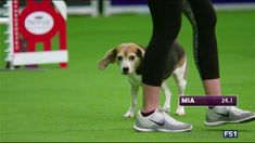Mia the beagle gets a little distracted at Westminster Dog Show https://www.youtube.com/watch?v=BOsY6nZ4580