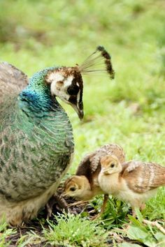 I cannot handle how cute baby Peacocks are... :)
