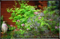 Sambucus nigra 'Eva,' Black Lace™ elderberry and Syringa pubescens subsp. patula,'Miss Kim'