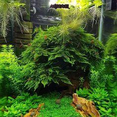Not enough Christmas moss I think 🤔🤣 great work by Arek Kowalczyk. Tropical Fish Aquarium, Nature Aquarium, Planted Aquarium, Fish Aquariums, Aquarium Ideas, Nano Cube, Tetra Fish, Betta Tank, Vivarium