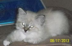 Ivy - Sister to Echo and Blaze - She is a Long Hair Blue Lynx Point and White Napoleon - Born to Storm and Moses on 06.05.13