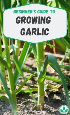 Growing garlic beginner s guide gardengearshop garden gardening garlic vegetable garden for beginners 9 vegetables that everyone can manage Organic Horticulture, Organic Gardening, Vegetable Gardening, Organic Compost, Growing Plants, Growing Vegetables, Growing Gardens, Gardening For Beginners, Gardening Tips