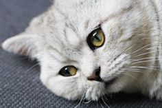 Ilton chaton British Shorthair // 8 mois Copyright 2013 © Pauline