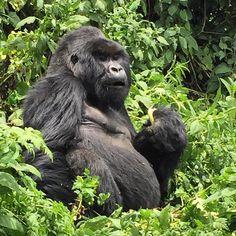 #gorrila #silverback #bigboss #ruanda #africa #onthewaytomombasa #picoftheday