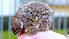 Owl Storytelling: Una civetta toscana in difficoltà 31 gennaio 2015...