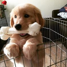 ~ PRETTY LARGE RAWHIDE CHEW FOR SUCH A YOUNG GOLDEN BUT APPEARS TO BE ENJOYING…