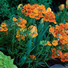 Nemesia brings cheer (and fragrance) through the cooler months.