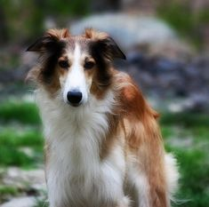 Beautiful Silken Windhound - They Are My New Fav Breed