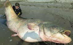 The 127 kg catfish caught in the Po delta of Italy