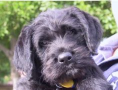 "Our ""Nick"" looks like this Labradoodle, Cordell, from St. Clair Kennels."