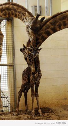 Giraffes' family photo!